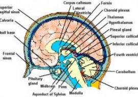 NEUROANATOMY MRAZ (2) – 4th YEAR COMENIUS UNV