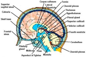 NEUROANATOMY MRAZ 1/2 –  4th YEAR COMENIUS UNV